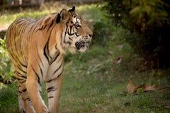 Ενιαία ενήλικη τίγρη στο σχεδιάγραμμα στο ζωολογικό κήπο το καλοκαίρι που περπατά στη χλόη στο χρώμα στοκ φωτογραφία με δικαίωμα ελεύθερης χρήσης
