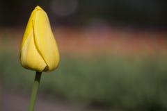 Ενιαία κίτρινη τουλίπα Στοκ εικόνες με δικαίωμα ελεύθερης χρήσης