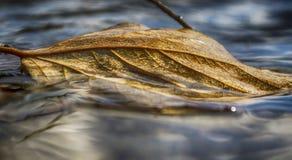 Ενιαία καφετιά φύλλα Στοκ Φωτογραφίες