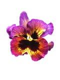 Ενιαία κινηματογράφηση σε πρώτο πλάνο του λουλουδιού Pansy Στοκ Φωτογραφίες