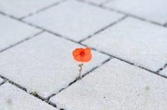 Ενιαία κόκκινη παπαρούνα καλαμποκιού που βλαστάνει μεταξύ της επίστρωσης Στοκ Εικόνα
