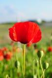 Ενιαία κόκκινη παπαρούνα Στοκ εικόνες με δικαίωμα ελεύθερης χρήσης