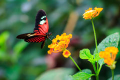 Ενιαία κόκκινη πεταλούδα ταχυδρόμων ή κοινός ταχυδρόμος (Heliconius melpomene) στοκ φωτογραφία με δικαίωμα ελεύθερης χρήσης