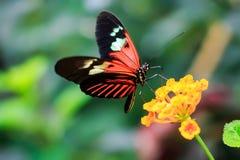 Ενιαία κόκκινη πεταλούδα ταχυδρόμων ή κοινός ταχυδρόμος (Heliconius melpomene) στοκ εικόνες