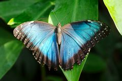 Ενιαία μπλε πεταλούδα Στοκ εικόνες με δικαίωμα ελεύθερης χρήσης