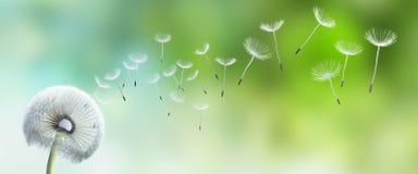 Ενιαία πικραλίδα με τους σπόρους που πετούν μακριά ελεύθερη απεικόνιση δικαιώματος