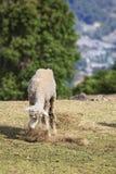 Ενιαία πρόβατα που ταΐζουν με τη χλόη Στοκ Εικόνες
