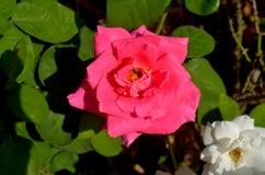 Ενιαία ρόδινα τριαντάφυλλα Στοκ φωτογραφίες με δικαίωμα ελεύθερης χρήσης