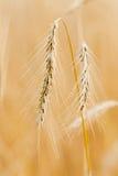 Ενιαία χρυσά αυτιά. στοκ φωτογραφίες με δικαίωμα ελεύθερης χρήσης