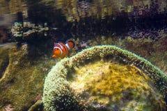 Ενιαία ψάρια κλόουν που κολυμπούν κοντά στην επιφάνεια του νερού Στοκ Φωτογραφία