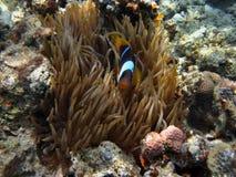 Ενιαία ψάρια anemone Στοκ Φωτογραφίες