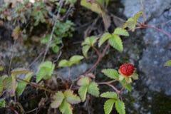 ενιαίες άγρια περιοχές φραουλών Στοκ Εικόνες