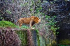 Ενιαίοι βρυχηθμοί λιονταριών στοκ εικόνες με δικαίωμα ελεύθερης χρήσης