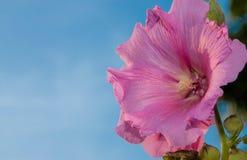Ενιαίοι ρόδινοι λουλούδι και μπλε ουρανός Στοκ εικόνα με δικαίωμα ελεύθερης χρήσης