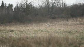 Ενιαίος άσπρος πελαργός που περπατά σε έναν γκρίζο τομέα φιλμ μικρού μήκους