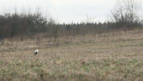 Ενιαίος άσπρος πελαργός που περπατά σε έναν γκρίζο τομέα απόθεμα βίντεο