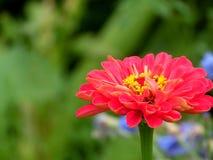 Ενιαίος από τον καθορισμένο κήπο Zinnia Στοκ Εικόνες