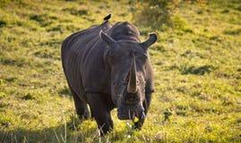 Ενιαίος αρσενικός άσπρος ρινόκερος στο νοτιοαφρικανικό θάμνο με το tickbird Στοκ Εικόνα