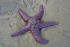 Ενιαίος αστερίας στην παραλία στοκ εικόνες