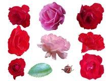 Ενιαίος αυξήθηκε λουλούδια στο άσπρο υπόβαθρο στοκ εικόνα με δικαίωμα ελεύθερης χρήσης