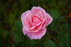 Ενιαίος αυξήθηκε λουλούδι στο πράσινο υπόβαθρο φύλλων Στοκ εικόνες με δικαίωμα ελεύθερης χρήσης
