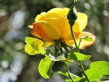 Ενιαίος κίτρινος αυξήθηκε και ένας οφθαλμός με τα πράσινα φύλλα Στοκ Εικόνες