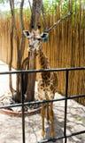 Ενιαίος καφετί Giraffe στο ζωολογικό κήπο Στοκ φωτογραφία με δικαίωμα ελεύθερης χρήσης