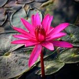 Ενιαίος κρίνος λουλουδιών Στοκ φωτογραφίες με δικαίωμα ελεύθερης χρήσης