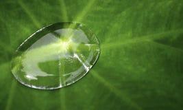 Ενιαίος, κρύσταλλο - σαφές, πτώση νερού σε ένα πράσινο φύλλο colocasia Στοκ Εικόνα