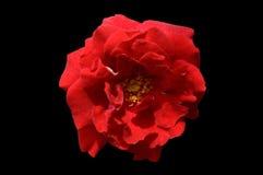Ενιαίος κόκκινος αυξήθηκε ο απομονωμένος άποψη Μαύρος λουλουδιών τοπ Στοκ εικόνα με δικαίωμα ελεύθερης χρήσης