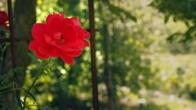 Ενιαίος κόκκινος αυξήθηκε στα πλαίσια των πράσινων φύλλων Κόκκινος αυξήθηκε ανθίζοντας στον κήπο Αυξήθηκε με τα κόκκινα άνθη πετά απόθεμα βίντεο