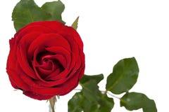 Ενιαίος κόκκινος αυξήθηκε στην άσπρη ανασκόπηση Στοκ Εικόνες