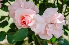 Ενιαίος κόκκινος λουλουδιών αυξήθηκε Στοκ Εικόνες