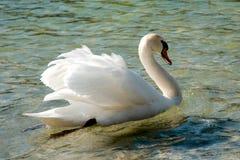 Ενιαίος κύκνος που κολυμπά σε μια λίμνη Στοκ Φωτογραφία