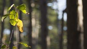 Ενιαίος κλαδίσκος με τα πράσινα και βλαστημένα φύλλα φιλμ μικρού μήκους