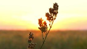 Ενιαίος μίσχος της χλόης στο ηλιοβασίλεμα που ταλαντεύεται στον αέρα Όμορφη δράση απόθεμα βίντεο