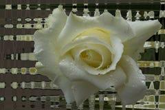 Ενιαίος μαλακός αυξήθηκε λουλούδι με τις πτώσεις δροσιάς Στοκ Εικόνα