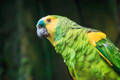 Ενιαίος μπλε-αντιμετωπισμένος παπαγάλος του Αμαζονίου (aestiva Amazona) Στοκ Φωτογραφίες