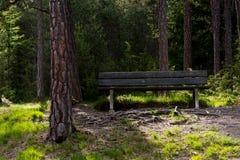 Ενιαίος πάγκος στο δάσος πεύκων Στοκ Εικόνες