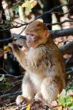 Ενιαίος πίθηκος Βαρβαρίας Στοκ εικόνα με δικαίωμα ελεύθερης χρήσης