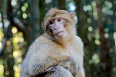 Ενιαίος πίθηκος Βαρβαρίας Στοκ Εικόνες