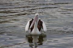 Ενιαίος πελεκάνος στο νερό Στοκ φωτογραφία με δικαίωμα ελεύθερης χρήσης