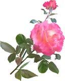 Ενιαίος ρόδινος αυξήθηκε λουλούδι με τον οφθαλμό που απομονώθηκε στο λευκό Στοκ Εικόνες