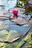 Ενιαίος ρόδινος εξωτικός κρίνος νερού στην τροπική λίμνη Τομπάγκο στοκ φωτογραφίες