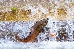 Ενιαίος σολομός που πηδά στο τελευταίο εκκολαπτήριο ψαριών Στοκ εικόνες με δικαίωμα ελεύθερης χρήσης