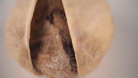 Ενιαίος σπόρος φυστικιών με το κοχύλι, μακρο πυροβολισμός απόθεμα βίντεο