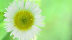 Ενιαίος chamomile - φρέσκο λουλούδι μαργαριτών στο ανοικτό πράσινο υπόβαθρο φιλμ μικρού μήκους