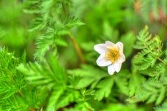 Ενιαίο άσπρο λουλούδι στο δάσος στοκ φωτογραφία με δικαίωμα ελεύθερης χρήσης