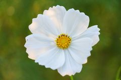 Ενιαίο άσπρο λουλούδι στο πράσινο χρώμα υποβάθρου άσπρο και πράσινο στοκ φωτογραφία με δικαίωμα ελεύθερης χρήσης