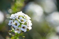 Ενιαίο άσπρο λουλούδι Alyssum, μέρος της οικογένειας Brassicaceae με τη δροσιά Στοκ φωτογραφία με δικαίωμα ελεύθερης χρήσης